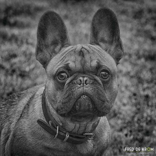 Franse Bulldog Siep_Fred de Krom Fotografie