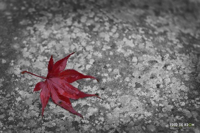 Rood herfstblad op grijze steen_Fred de Krom Fotografie en Beeldbewerking
