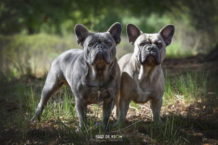 Jonge Franse Bulldogs.
