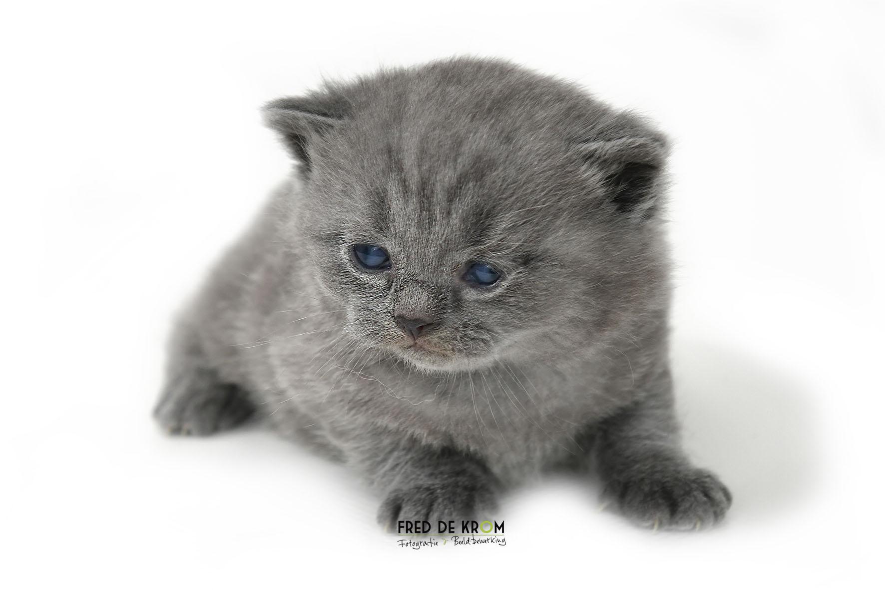 Britse korthaar kitten, grijs, liggend, witte achtergrond.