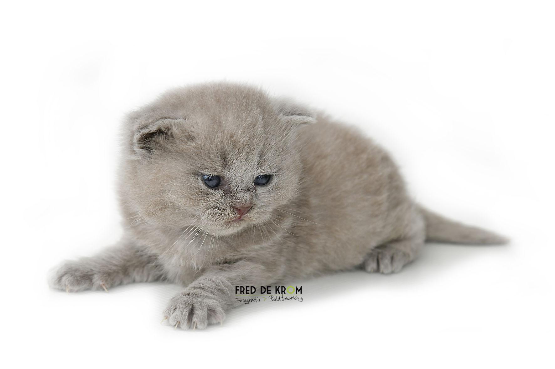 Britse korthaar kitten, liggend, witte achtergrond.